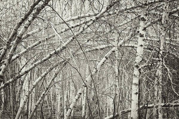 Damaged Photograph - Birch Forest by Shaunl