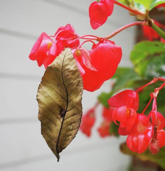 Wall Art - Photograph - Birch Leaf On Begonia by Alida M Haslett