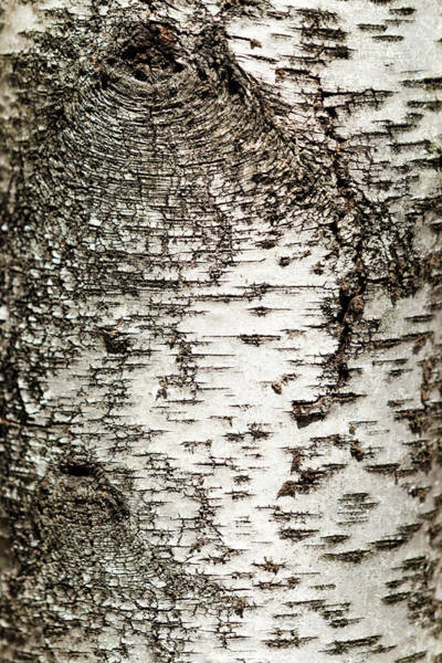 Photograph - Birch Tree Bark by Christina Rollo