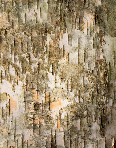 Vertical Abstract Photograph - Birch Tree Bark Detail by Siede Preis
