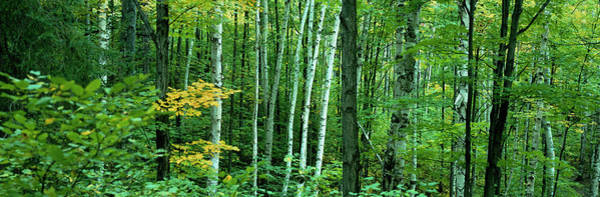 Wall Art - Photograph - Birch Trees In A Forest, Ontario, Canada by Panoramic Images