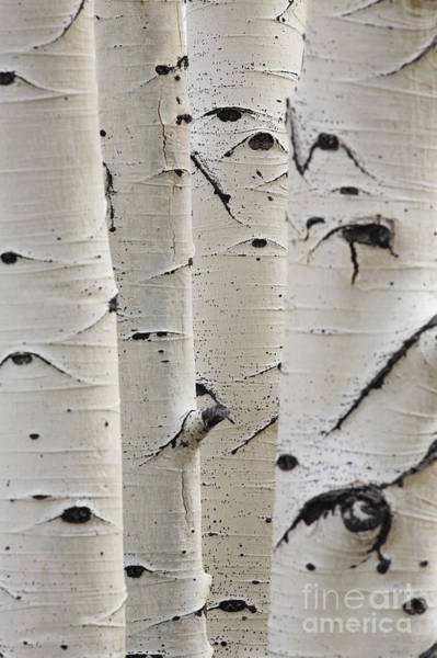 Wall Art - Photograph - Birch Trees In A Row Close-up Of Trunks by Sirtravelalot
