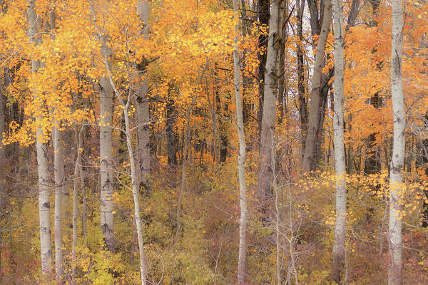 Photograph - Birches In Autumn by Rod Best