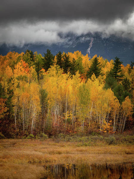 Photograph - Birches In Yellow by Colin Chase