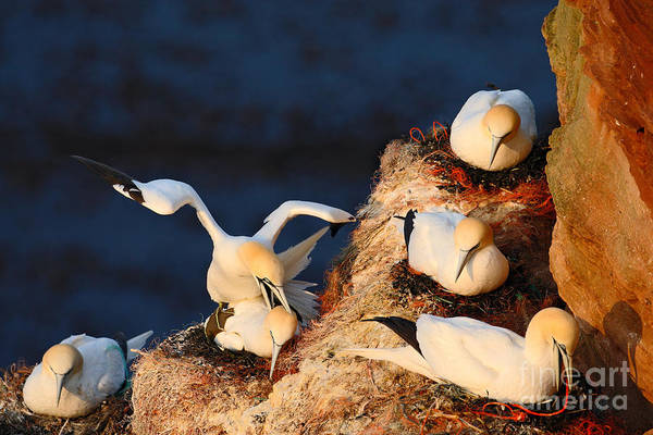 Wall Art - Photograph - Bird Colony. Mating Of Northern Gannets by Ondrej Prosicky