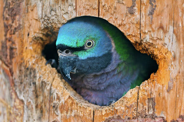 Parakeets Photograph - Bird In Hole by Picture By Tambako The Jaguar