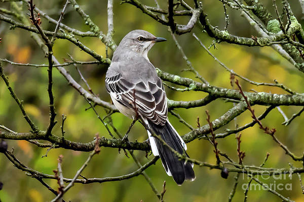 Photograph - Mockingbird In Tree by Michael D Miller