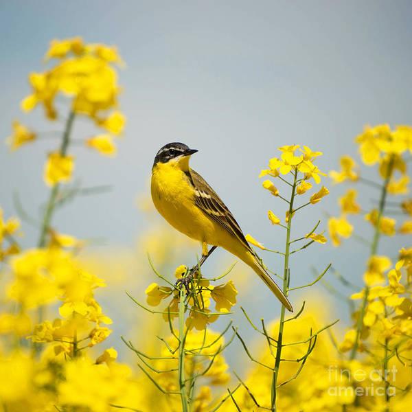 Wall Art - Photograph - Bird In Yellow Flowers, Rapeseed by Belu Gheorghe