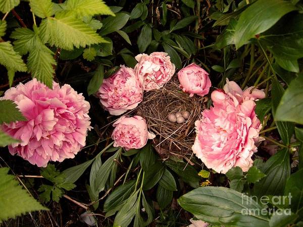 Wall Art - Photograph - Bird Nest With Eggs And Pink Ranunculus Flowers by Delores Malcomson