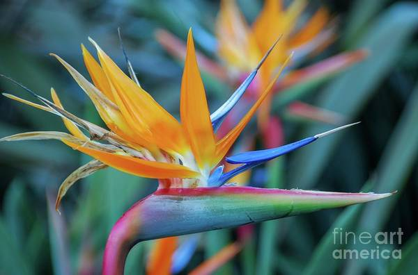 Photograph - Bird Of Paradise Flowers by D Davila