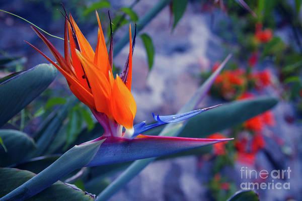 Wall Art - Photograph - Bird Of Paradise by Sharon Mau