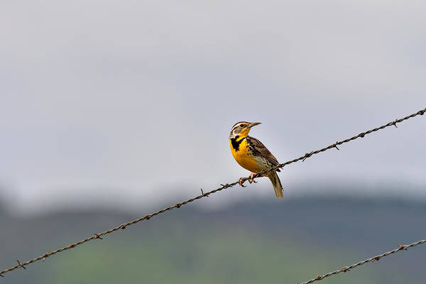 Wall Art - Photograph - Bird On A Wire by Michael Morse