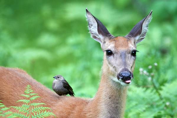 Wall Art - Photograph - Bird On Deer by Paul Freidlund