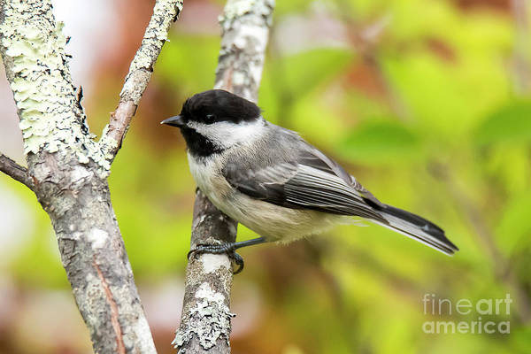 Photograph - Chickadee On Tree by Michael D Miller