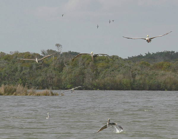 Pelican Island National Wildlife Refuge Wall Art - Photograph - Birds Flying Over Pea Island by Cathy Lindsey