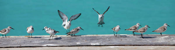 Wall Art - Photograph - Birds Landing In A Row, Caribbean by Chel Beeson