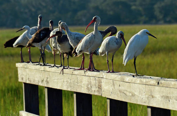 Photograph - Birds Of A Different Feather In Jekyll Island's Marsh by Bruce Gourley