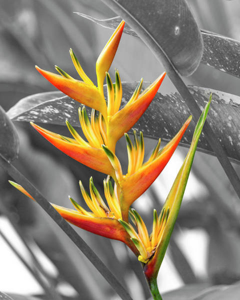 Wall Art - Photograph - Birds Of Costa Rica Paradise Bloom by Betsy Knapp