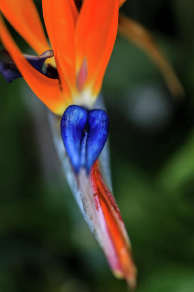 Photograph - Birds Of Paradise Up Close by Uncle Arny