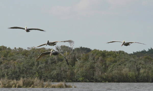 Pelican Island National Wildlife Refuge Wall Art - Photograph - Four Pelicans Flying Over Pea Island 6 by Cathy Lindsey