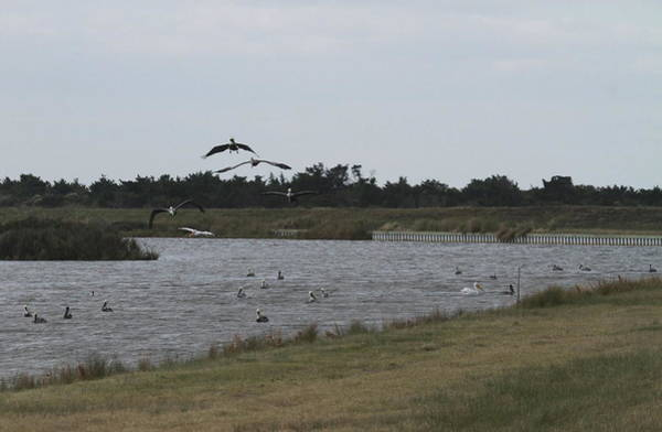 Pelican Island National Wildlife Refuge Wall Art - Photograph - Birds Of Pea Island 1118d by Cathy Lindsey