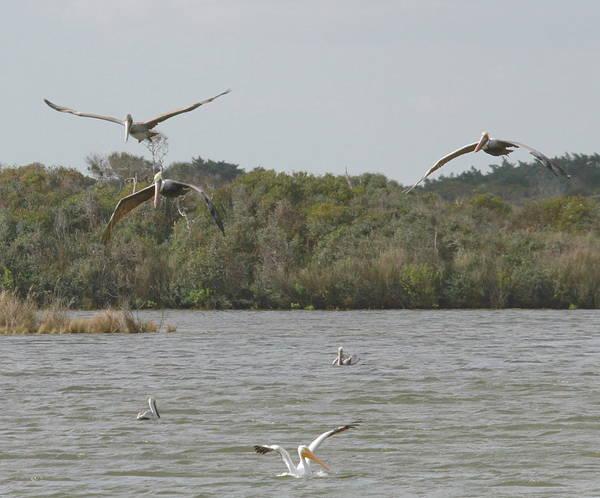 Pelican Island National Wildlife Refuge Wall Art - Photograph - Birds Of Pea Island J by Cathy Lindsey