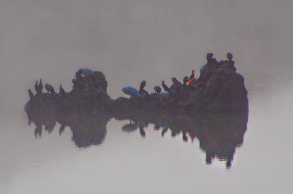 Photograph - Birds On A Rock Reflecting On The Day - Nicasio Reservoir - Cali by Bill Cannon