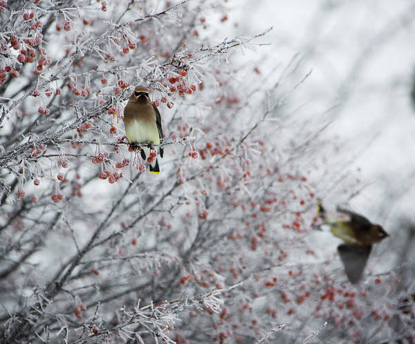 Waxwing Digital Art - Birds On Frosty Tree by Susan Stone