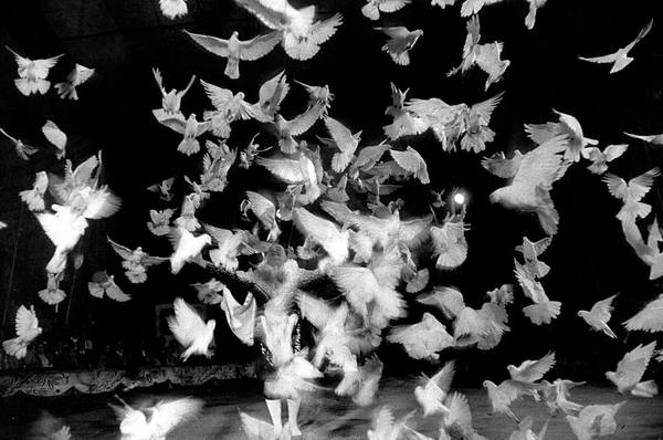 Photograph - Birds Performing In A Circus.  Photo By by Loomis Dean