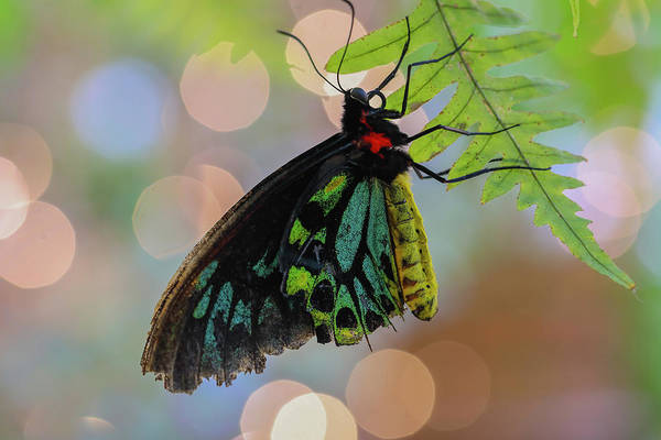 Photograph - Birdwing Butterfly Bokeh by Juergen Roth