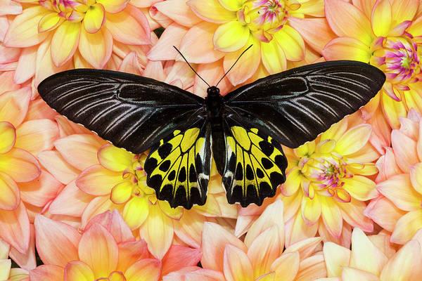 Wall Art - Photograph - Birdwing Tropical Asian Butterfly by Darrell Gulin