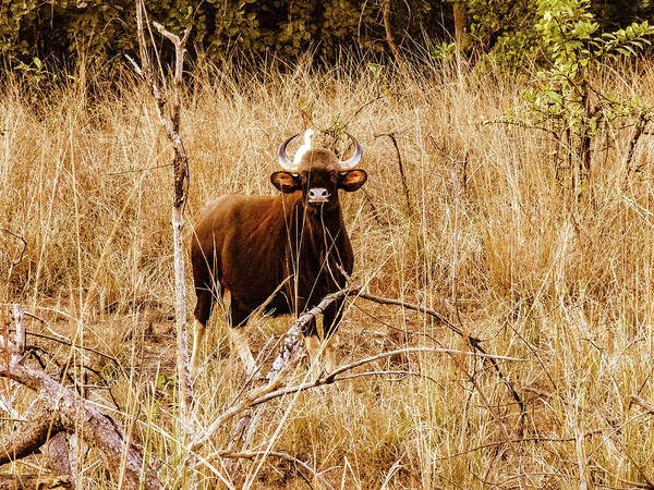 Photograph - Bison by AE collections