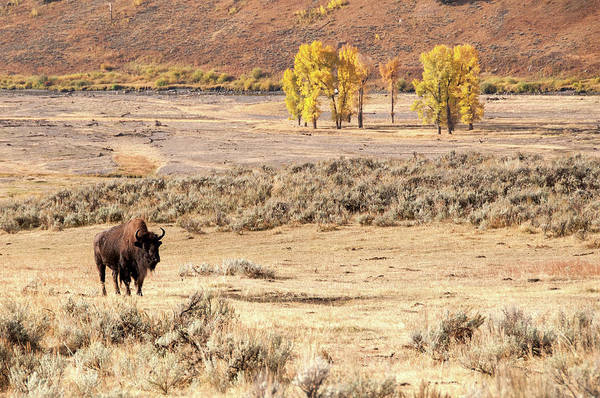 Photograph - Bison And Cottonwoods by Steve Stuller