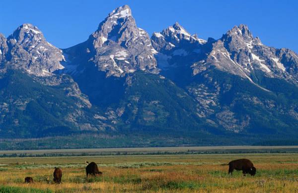 Elk Herd Photograph - Bison And The Teton Ranges In Grand by John Elk
