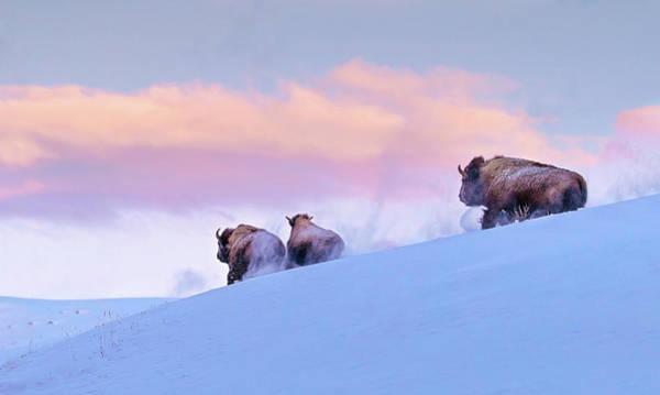 Photograph - Bison At Sunrise by Eilish Palmer