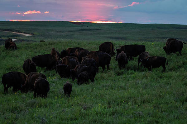 Photograph - Bison At Sunset by Jay Stockhaus