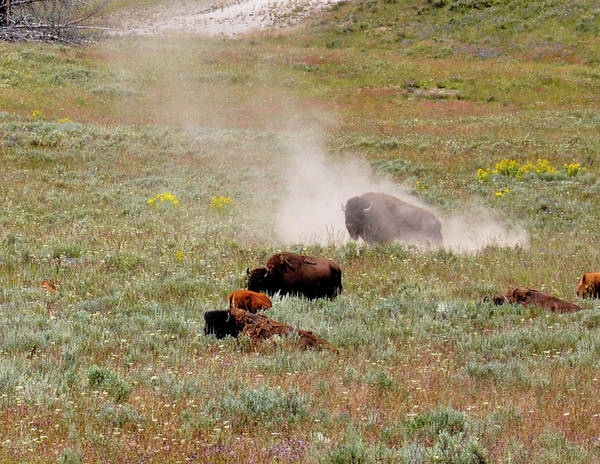 Photograph - Bison Bathe In The Geyser by Chance Kafka