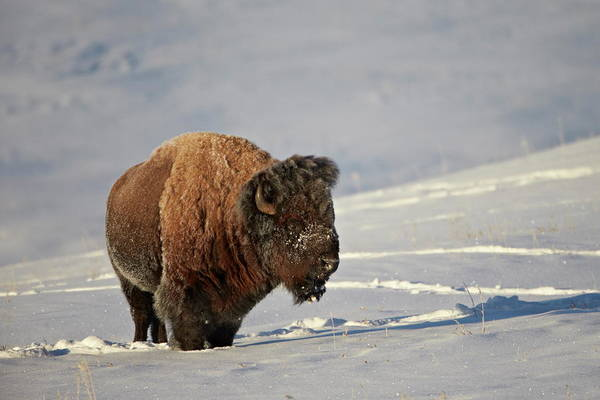 James Brown Photograph - Bison Bison Bison Bull In The Snow by James Hager / Robertharding