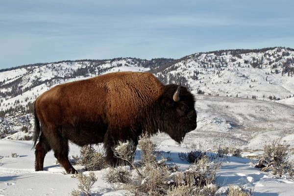 James Brown Photograph - Bison Bison Bison Bull In The Winter by James Hager / Robertharding