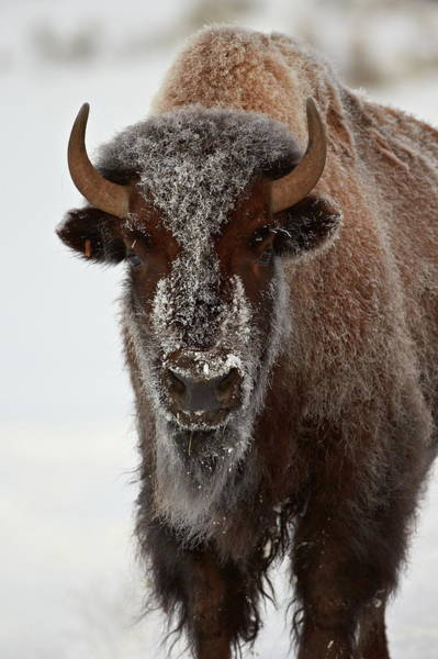 James Brown Photograph - Bison Bison Bison Cow In The Winter by James Hager / Robertharding