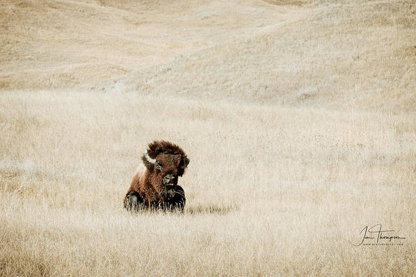 Photograph - Bison Bull  by Jim Thompson