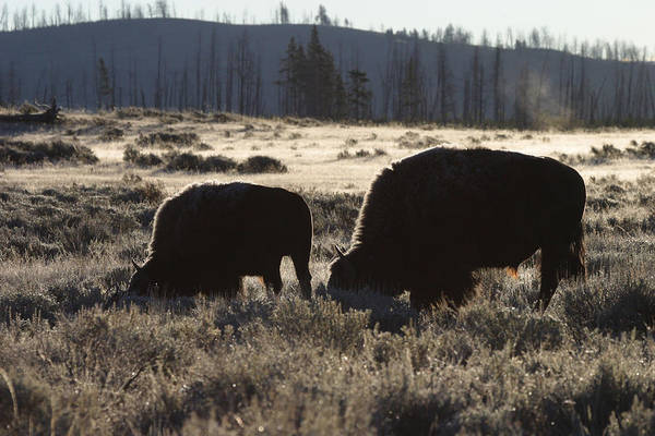 Wall Art - Photograph - Bison Cow And Calf by David Hosking