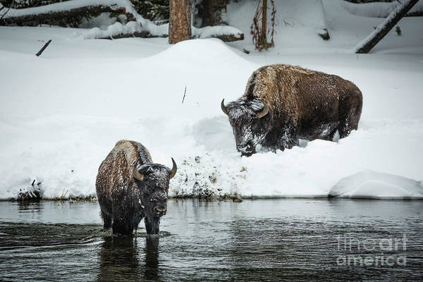 Wall Art - Photograph - Bison Crossing by Timothy Hacker