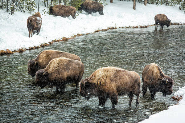 Wall Art - Photograph - Bison Herd In River 1 by Timothy Hacker