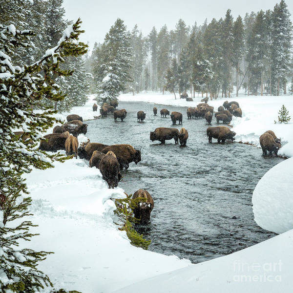 Wall Art - Photograph - Bison Herd In River 3 by Timothy Hacker