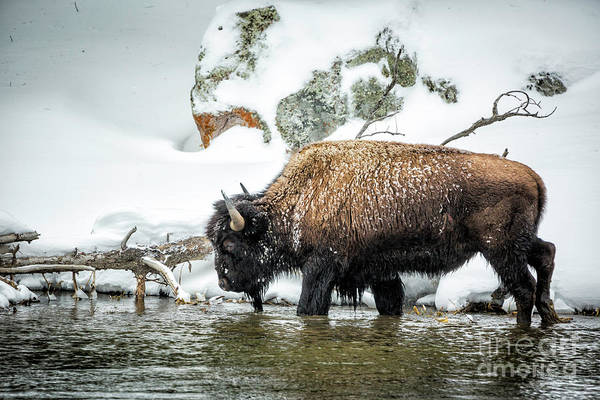 Wall Art - Photograph - Bison In River by Timothy Hacker
