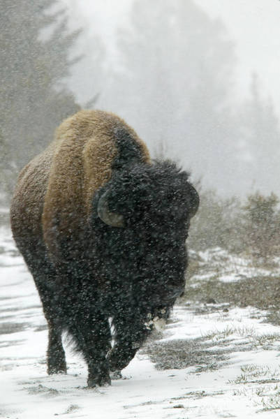Endurance Wall Art - Photograph - Bison In Snow Storm by Barbara Jordan