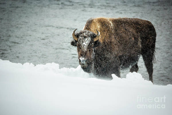 Wall Art - Photograph - Bison In Snowstorm 1 by Timothy Hacker