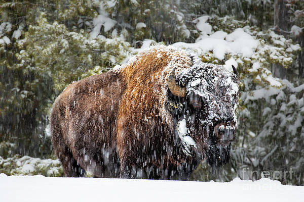 Wall Art - Photograph - Bison In Yellowstone by Timothy Hacker