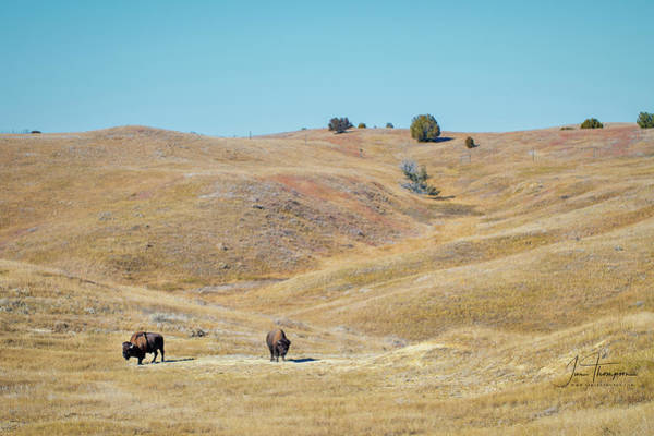 Photograph - Bison by Jim Thompson